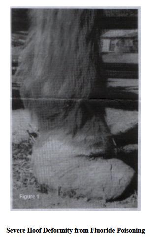 Effect of fluorosis horse hoof