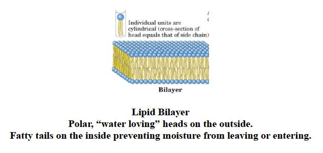 Lipid Bilayer Horse Hoof
