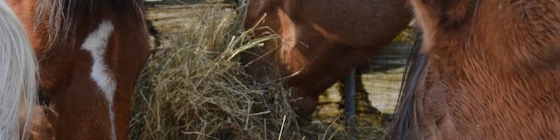 adlib hay for horses