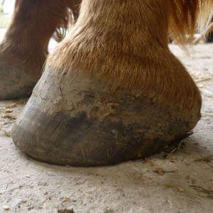 Forageplus Healthy Horse Hoof
