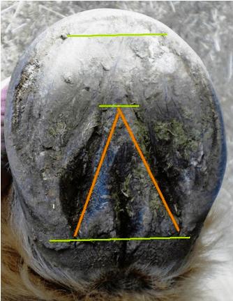 ecir-hoof-trim-for-laminitis