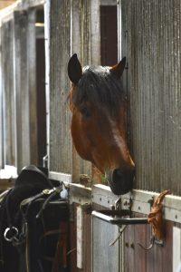 Jiaogulan to Help Laminitic Horses