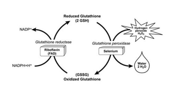 Glutathione - equine anaemia