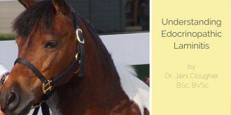 Understanding Endocrinopathic Laminitis